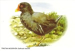 Postcard with painting of a Tristan Moorhen