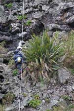 Working from ropes to remove an invasive New Zealand flax plant on Inaccessible Island