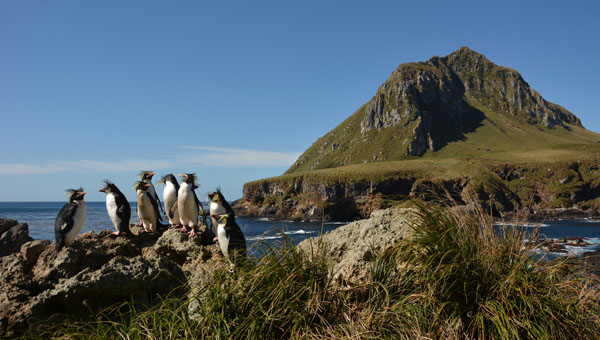 Northern rockhopper penguins on Middle Island, with Nightingale Island behind