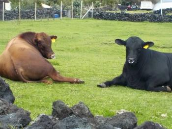 The bulls resting after their voyage.