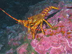 Tristan da Cunha Marine Life