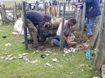 Men shearing sheep